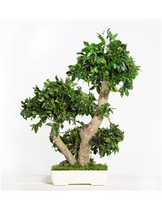 Konservierter Pittosporum Bonsai, ca. 50cm